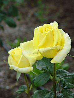 'Gina Lollobrigida'   Hybrid Tea rose, @ T. Kiya Lavender Roses, Yellow Flowers, Red Roses, Exotic Flowers, Pretty Flowers, Rosa Rose, Rainbow Roses, Coming Up Roses, Hybrid Tea Roses