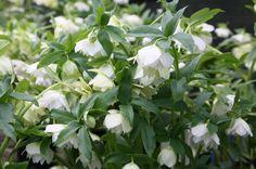 Lenten Rose- Hellebore : read up @ http://www.whiteflowerfarm.com/growing-hellebores.html