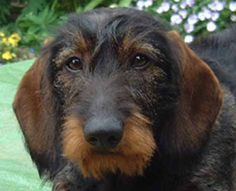 I do love the wire haired dachsies!