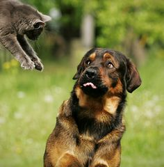 A fiesty cat leaping towards an uncomfortable dog...so cute!