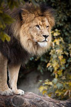 Kunstwerk: 'Leeuw' van Victor van Dijk Animals, Art, Products, Art Background, Animales, Animaux, Kunst, Animal, Performing Arts