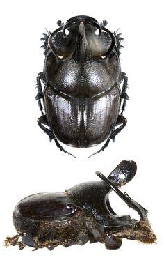 Onthophagus rectefurcatus