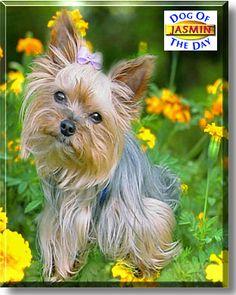 Jasmin - Yorkshire Terrier - October 13, 2002