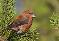 Common Crossbill Loxia curvirostra Falsterbo Sweden