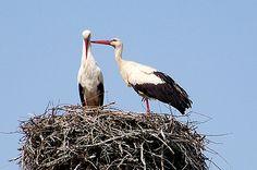Störchen auf dem Nest