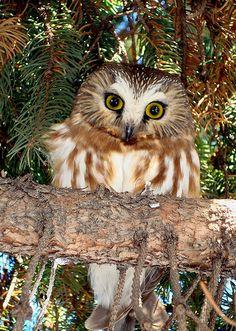Northern Saw-whet Owl, photo by Jen Johnston, Staff Photographer, Mount Auburn Cemetery
