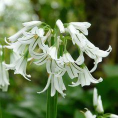 :: Allium triquetrum - Glöckchen-Lauch, Schnee-Lauch :: Blumenzwiebeln :: Weiße Blüten von Februar bis Oktober - Pflanzenversand Gaissmayer