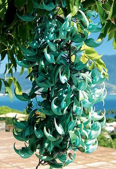 Just like the ones hanging in my carport - unbelievable plant Rare Flowers, Exotic Flowers, Tropical Flowers, Green Flowers, Amazing Flowers, Garden Art, Garden Plants, Jade Vine, All About Plants