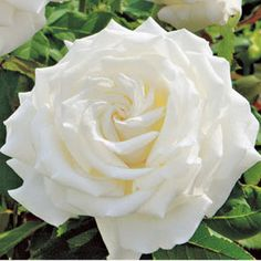 This is the Pope John Paul II Rose.  It has the most amazing fragrance and the blooms are huge.  Love this rose.