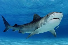The Tiger Shark.  An interesting specimen, this one... The Tiger Shark is easy to distinguish. This shark has sets of stripes along its body, much like that of a tiger.