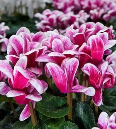 Best gardening advice for Cyclamen Plant Care. Growing cyclamen as house plants is easy with these gardening tips.