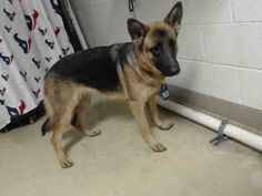 01/09/17-HOUSTON FACILITY AT CAPACITY ALL ANIMALS SUPER URGENT!! -APRIL - ID#A475293 My name is APRIL I am a female, brown and black German Shepherd Dog. The shelter staff think I am about 1 year old. I have been at the shelter since Jan 09, 2017. This information was refreshed 25 minutes ago and may not represent all of the animals at the Harris County Public Health and Environmental Services.