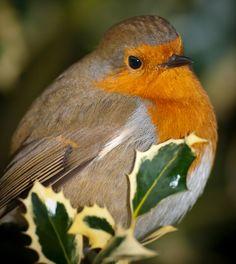 European robin in Kew Gardens