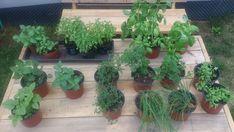 Pesto, Plants, Plant, Planets