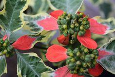 Euphorbia Yokoi's White (nicknamed Flameleaf) from my garden  Image39b by sylharden, via Flickr