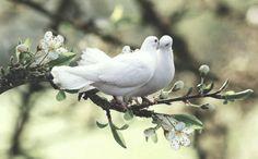 Two doves spring branch