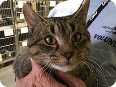 Voorhees, NJ - Domestic Shorthair. Meet Ringo-PetValu Somerdale, a cat for adoption. http://www.adoptapet.com/pet/17177157-voorhees-new-jersey-cat