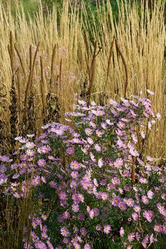 Oudolf's personal garden, Hummelo, Netherlands _/////_ Aster 'Pink Star'