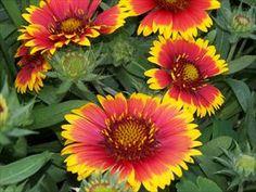 Gaillardia aristata 'Arizona Sun'  Blanet Flower
