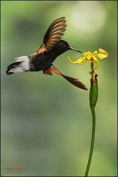 Black-bellied Hummingbird, Eupherusa nigriventris: Caribbean slope in Costa Rica/ Panama