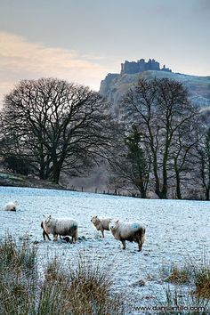 It doesn't get much more Welsh than this, castle and sheep. The rugged splendour of Carreg Cennen. Carreg Cennen Castle, #Carmarthenshire