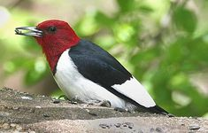 Red-Headed Woodpecker   Habitat: Open woodlands. Seeks out areas free of underbrush.  Diet: Insects, berries and nuts.  Backyard Favorites: Cracked sunflower seeds and suet.
