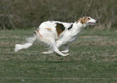Double suspension running action of the borzoi