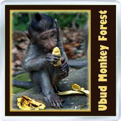 $3.29 - Acrylic Fridge Magnet: Indonesia. Bali. Ubud Monkey Forest
