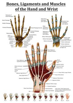 Anatomy of the Hand and Wrist from the right hand. Points out many muscles, ligaments, tendons and bones.