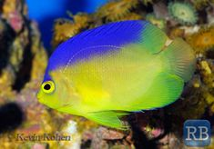 The Colin's Angelfish (Centropyge colini).