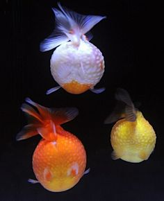 Pearlscale Goldfish from behind.  So interesting!