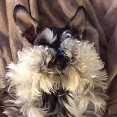 Roxy the miniature schnauzer playing shy