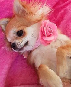 Cute Chihuahua, Chihuahua Puppies, Chihuahuas, Yorkies, Animals And Pets, Cute Animals, Apple Head, Love People, Bambi