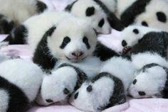 Latem w chińskim ośrodku urodziło się aż 14 pand wielkich. http://www.facebook.com/media/set/?set=a.738083706208147.1073741835.441948489155005&type=1