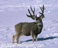 mule deer hunting with a bow