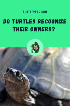 Do turtles recognize their owners? The answer is yes. Turtles do recognize their owners. That is the reason why your turtle will not be aggressive towards you! Red Footed Tortoise, Baby Tortoise, Tortoise Care, Turtle Aquarium, Turtle Pond, Turtle Tub, Tortoise Habitat, Reptile Habitat, Pet Turtle Care