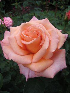 'Sunset Celebration' - hybrid tea rose