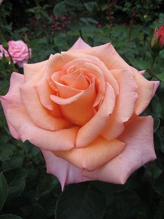 ~Rosa 'Sunset Celebration' - hybrid tea rose