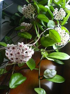 Hoya Carnosa -Wax Plant. Origin is Australia.