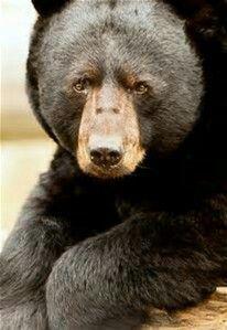 Redwood Forest Black Bear