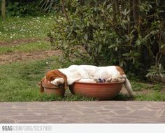 Basset hound. hahaha! My b hounds would do this!