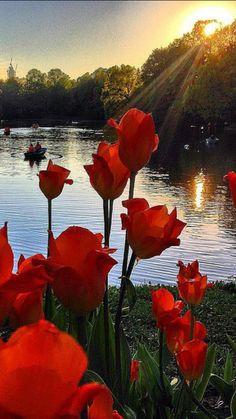 Tulips in the sunset ♥ - My site Beautiful Roses, Beautiful Images, Landscape Photography, Nature Photography, Jolie Photo, Nature Pictures, Amazing Nature, Pretty Flowers, Beautiful Landscapes