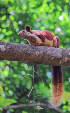 Malabar Giant Squirrel by Kartik Bhat on 500px