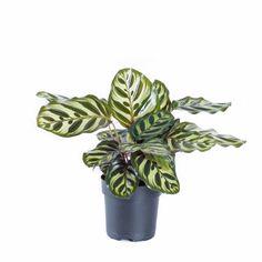 Calathea 'Makoyana' Høyde 30 cm | Plantasjen Cat Safe Plants, Calathea, Cactus Plants, 30th, Planter Pots, House, Lily, Cacti, Cactus