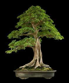 he word bonsai is most closely associated by most with the growing of miniature trees, and although this is somewhat accurate, there is a lot more to it than that. A bonsai is not a genetically overshadowed plant Garden Trees, Plants, Bonsai Tree, Bonzai Tree, Ikebana, Japanese Garden, Growing Tree, Small Trees, Miniature Trees