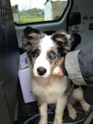 Diesel is an adoptable Australian Shepherd Dog in Quinlan, TX. 4mo . old baby dumped out, given away, and now at the rescue... People dropping off other dogs saw hm at the rescue, and said look-there...