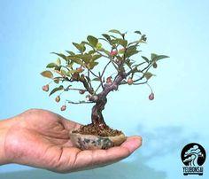 bonsai mini đẹp Hình như mình đang tập yêu....