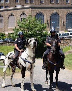 funny photo police riding giant great dane