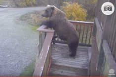 "Katmai bear #273 (Velcro's mom). ""Now where did that boy go?"""