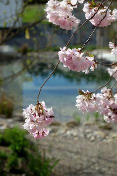 Die Zweige der Zierkirsche Prunus 'Accolade' hängen malerisch über. Prunus, Garden, Branches, Cherries, Garten, Gardens, Peach, Cherry, Tuin